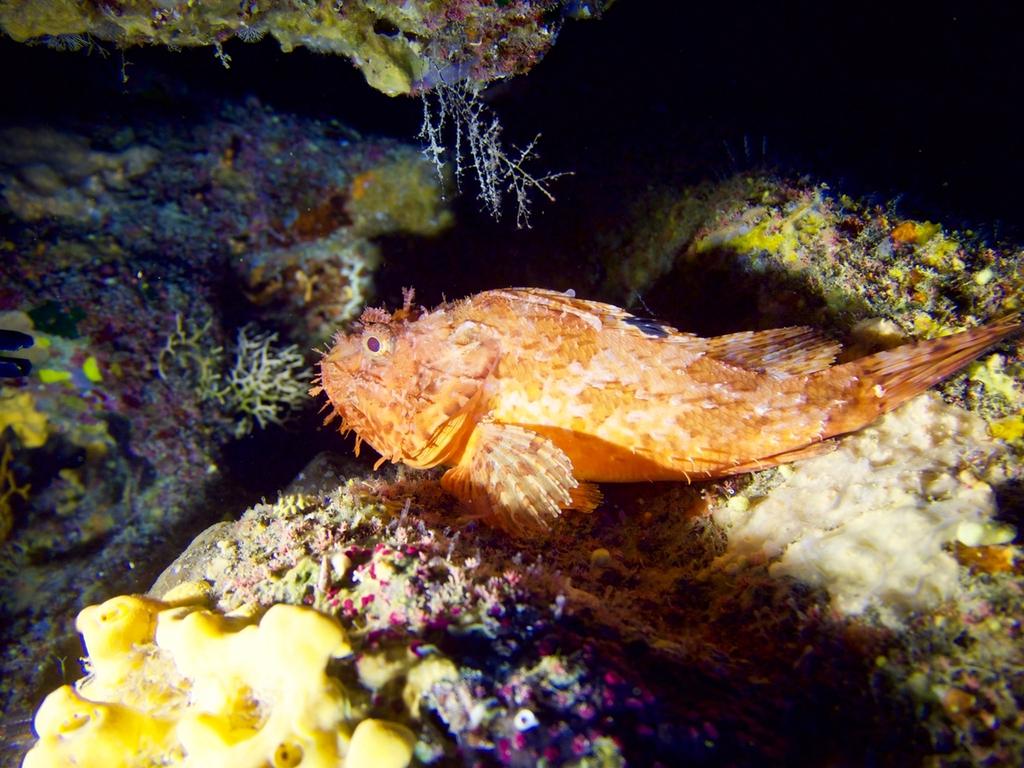 Scorbionfish